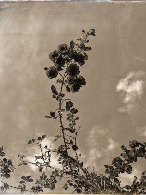 Ein Rosenstrauch gegen den Himmel fotograifert