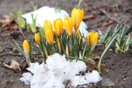 aufblühende Krokusse zwischen Schneebatzen